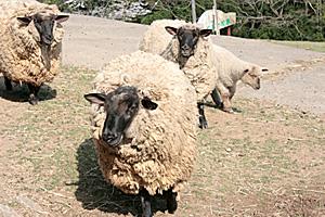 猪突猛進な羊
