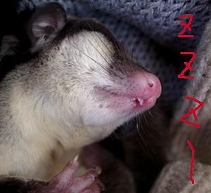 口開けて寝る、野生のニオイがしないフクロモモンガ