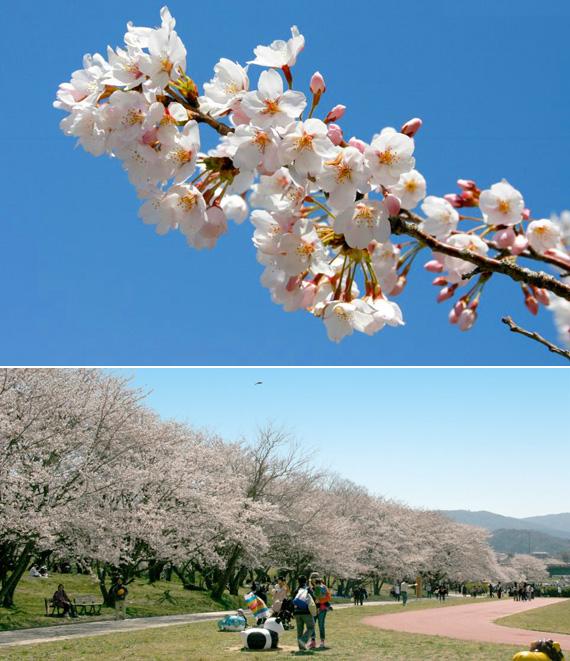 gentille宮川の桜